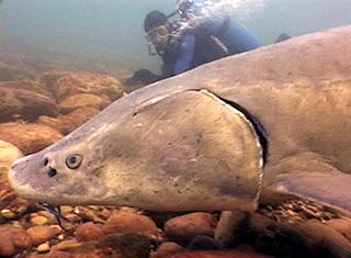 diver_sturgeon